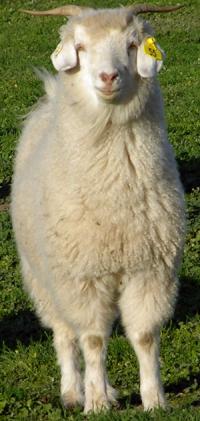 Australain cashmere goat